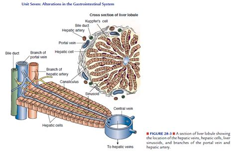 sections of the liver liver lobule cross section biology forums gallery