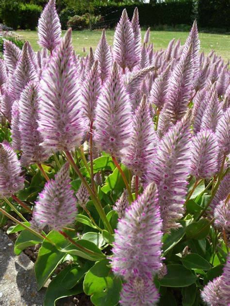 Flowers In Australian Gardens Ptilotus Exaltatus Joey Australian But Worth Breaking The For Our Home