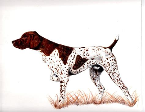 how to a pointer german shorthair pointer coloring page breeds picture
