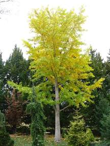 ginkgo biloba tree pictures detailed information on
