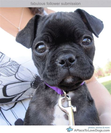 pugs for sale in maine boston terrier pug mix puppies for sale in maine breeds picture