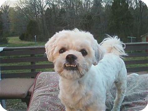 bichon frise puppies nc trapper adopted nc bichon frise shih tzu mix