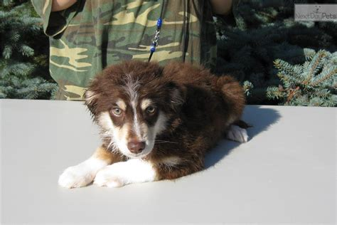 australian shepherd puppies for sale oregon australian shepherd puppy for sale near portland oregon 7fa8eb52 4221