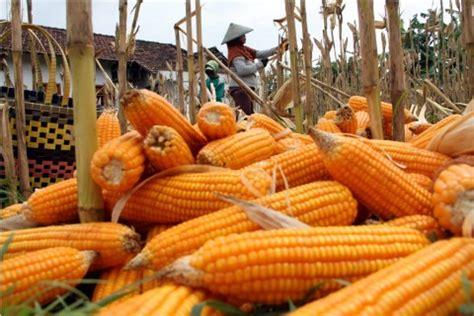 Benih Jagung Komposit mikro sumbar dorong petani jagung gunakan benih jagung hib