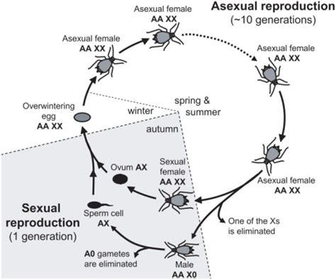 cycle of aphids diagram annual cycle of the pea aphid and ploidy levels fo