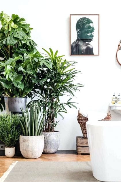 indoor house plants for sale large indoor plants for sale gorgeous tall indoor plants