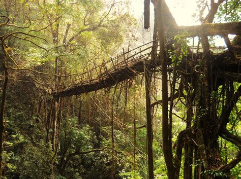 what is root bridge amazing creation of living root bridges meghalaya india