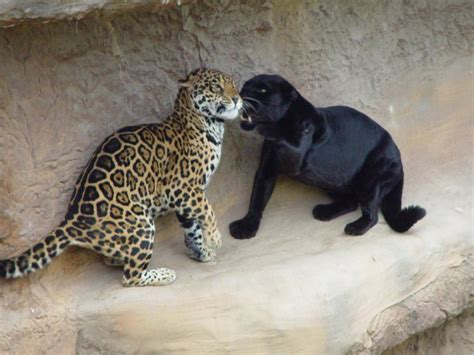 all black jaguar melanistic jaguars are informally known as black panthers