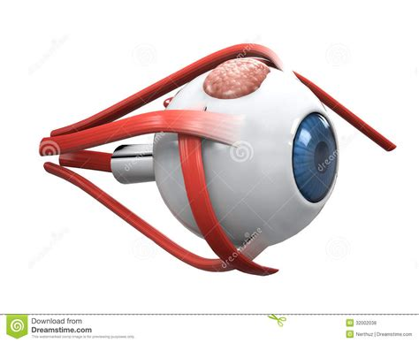 imagenes 3d ojos bizcos anatom 237 a de la disecci 243 n del ojo humano fotos de archivo