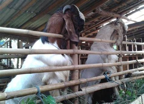 Jual Bibit Ikan Bawal Malang pasar kambing kediri home