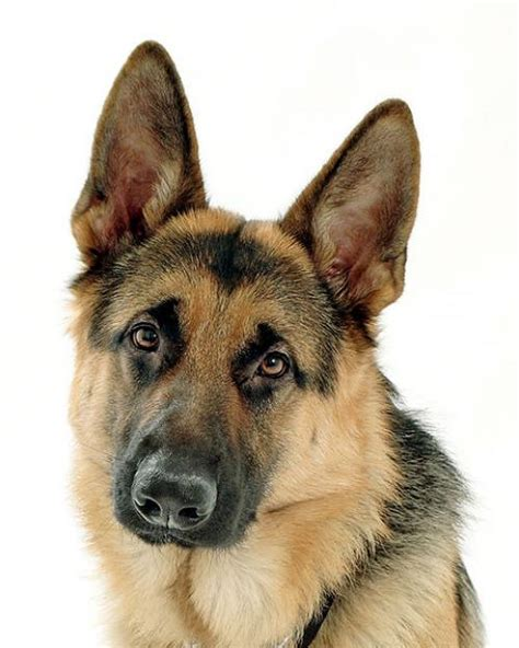 pictures of german shepherd puppies german shepherd photos dogbreedworld