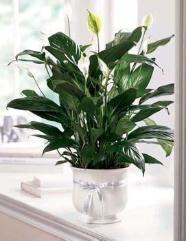 comfort planter ftd s comfort planter peace lily