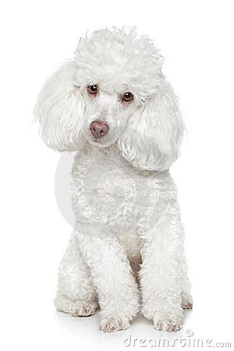 white toy poodle  white background stock  image
