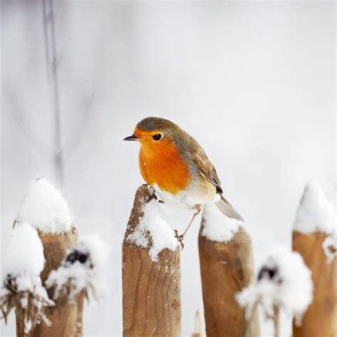 Rotkehlchen Im Winter 4661 by V 246 Gel Im Winter Winterv 246 Gel Am Futterplatz Vogel Und