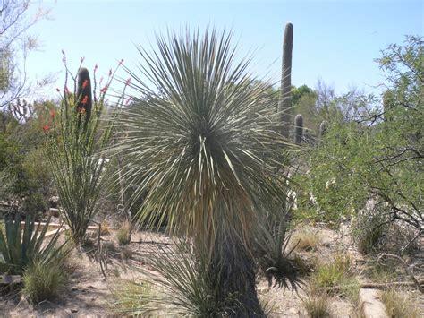 soaptree yucca yucca elata tohono chul
