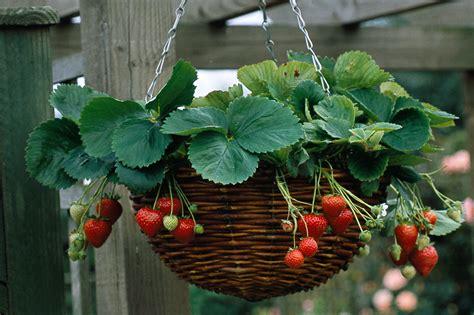 plant a strawberry hanging basket gardenersworld com