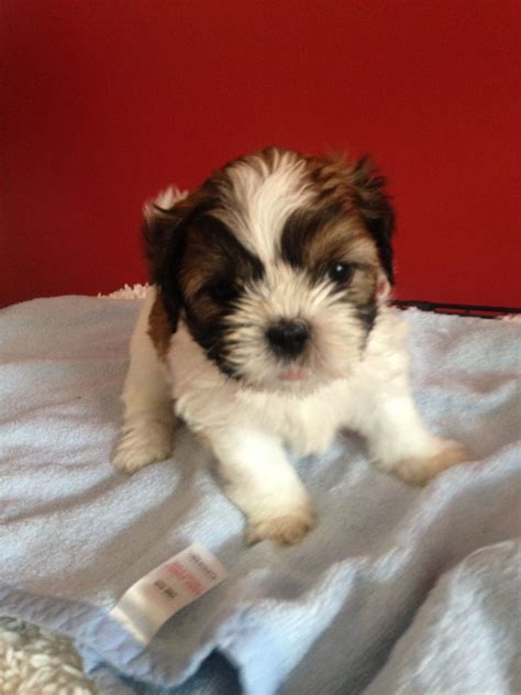 shih tzu puppies manchester shih tzu puppy manchester greater manchester pets4homes
