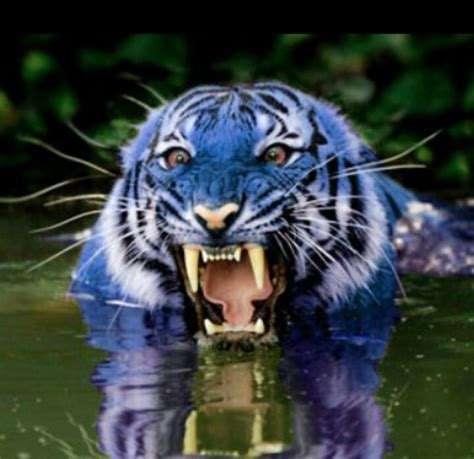 Blue Tiger maltese blue tiger big cats