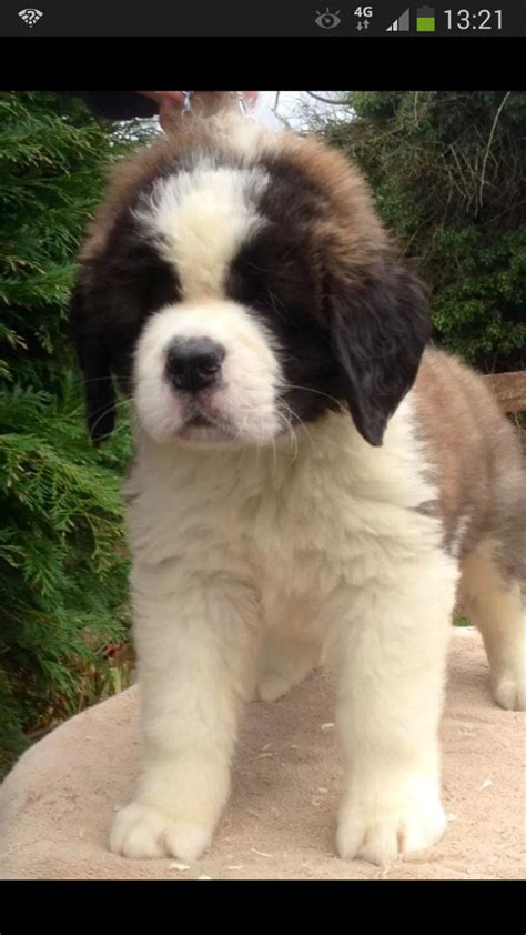 st bernard puppies rescue st bernards for adoption in ohio breeds picture