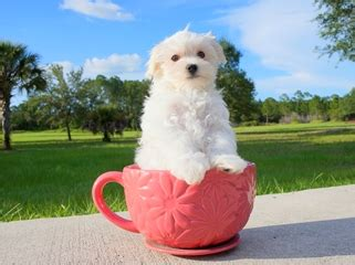 havanese puppies for sale orlando florida puppies for sale in florida buy teacup small breeds puppies in fl