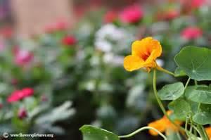 pictures of flowers nasturtium flower picture 27