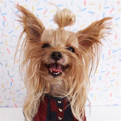 different hair cuts for toy yorkies this stylish yorkie loves to show off different hairstyles