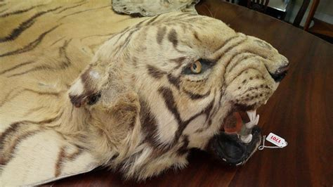 tiger skin rug for sale taxidermy a tiger skin rug with mount attributed to ingen ingen circa 1920