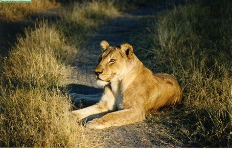 imagenes de los leones del escogido los leones imagenes de diferentes leones 4 pictureicon