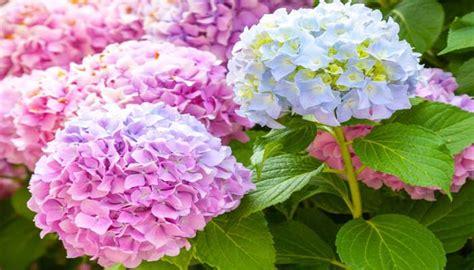 menanam  budidaya bunga bokor  rumah  cepat
