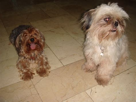yorkie description file yorkie and shih tzu jpg