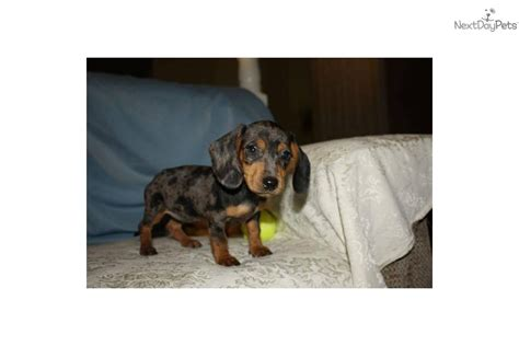 teacup dachshund puppies teacup dachshund puppies for sale miniature dachshund teacup photo breeds picture