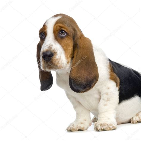 Hush Puppies Kotak 9 basset hound puppy hush puppies stock photo 169 lifeonwhite 10863788
