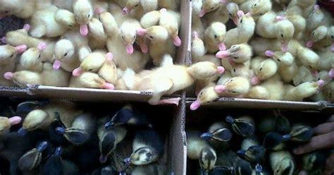 Penjual Dod Bebek Hibrida rajawali bebek mandiri peternakan jawa timur ready dod