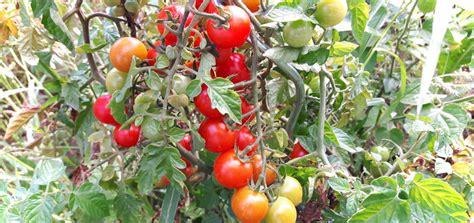 Tomaten Im Garten by Tomaten Im Garten Dungen Der Sommer Kann Kommen Gartenmaudis Garten Helmuts Pflanzkasten Mit