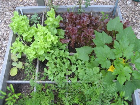 square vegetable garden in the garden growing vegetables in raised beds master