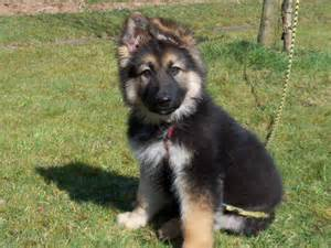 berger allemand berger allemand breeds picture