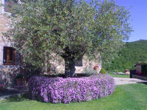 bordure fiorite la finestra di stefania aiuola con olivo e mesembriantemum