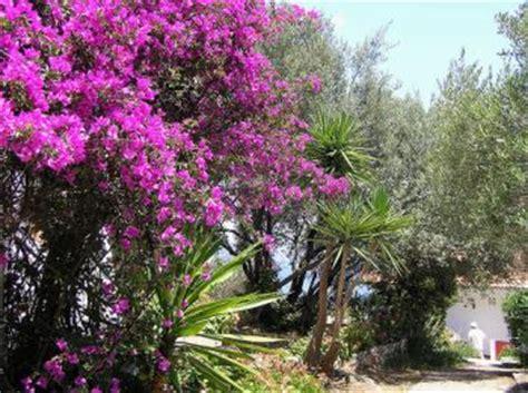 glicine senza fiori consigli per la bouganvillea cura manutenzione e
