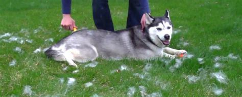 Husky Shedding Tips by Siberian Husky Care Grooming Bathing In The Summer