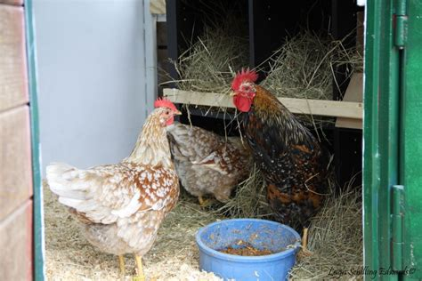 how much room does a chicken need in a coop how much coop and run space do i need blogher