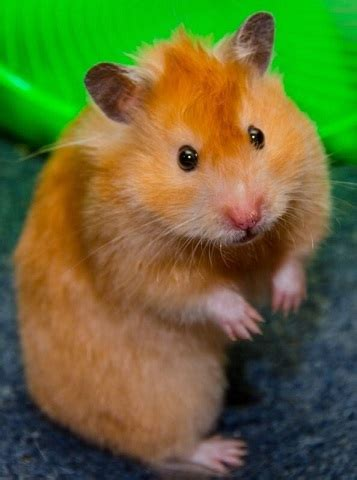 hamster colors syrian hamster care facts colors span shorthair
