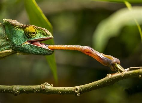The Chameleon by The Smallest Chameleon Has The Fastest Tongue