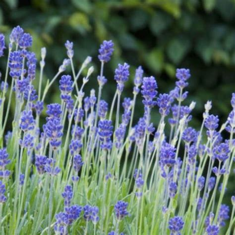 flowers that keep mosquitoes away 17 best images about plants to repel mosquitos on