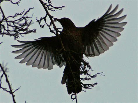 file blackbird in flight jpg wikimedia commons