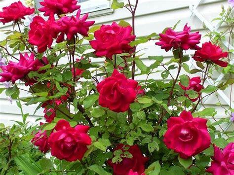 Pupuk Untuk Bunga Agar Subur cara mudah menanam dan merawat bunga mawar omah tips