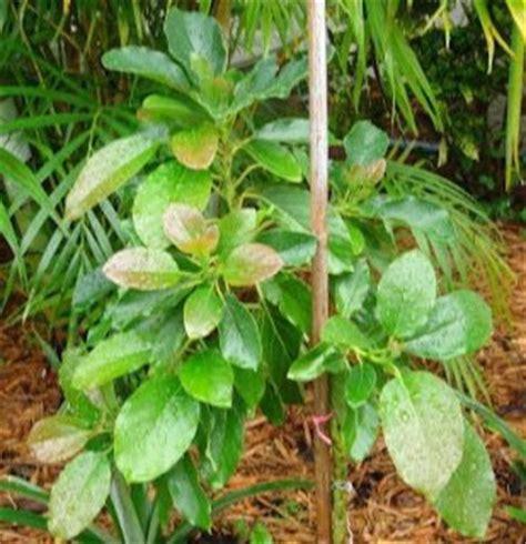 Bibit Alpukat Cangkok tanaman dalam pot tanaman yang bisa di cangkok