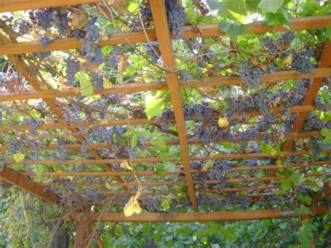 backyard grape vine trellis designs 12 best grapevine trellis ideas images on pinterest architecture backyard ideas and