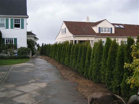 backyard shrubs privacy 85 best images about narrow columnar trees shrubs on