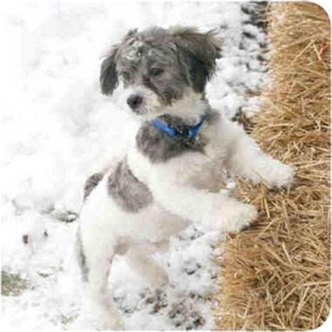 white shih tzu poodle mix shih tzu poodle mix pictures breeds picture