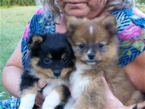 pomeranian breeders in michigan pomeranian puppies in michigan